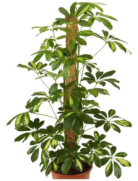 Fingeraralie Schefflera arboricola